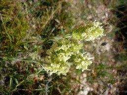 Sideritis hyssopifolia subsp. Eynensis
