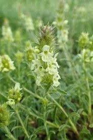 Sideritis hyssopifolia subsp. Hyssopifolia