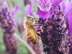 abeille qui butine de la lavande
