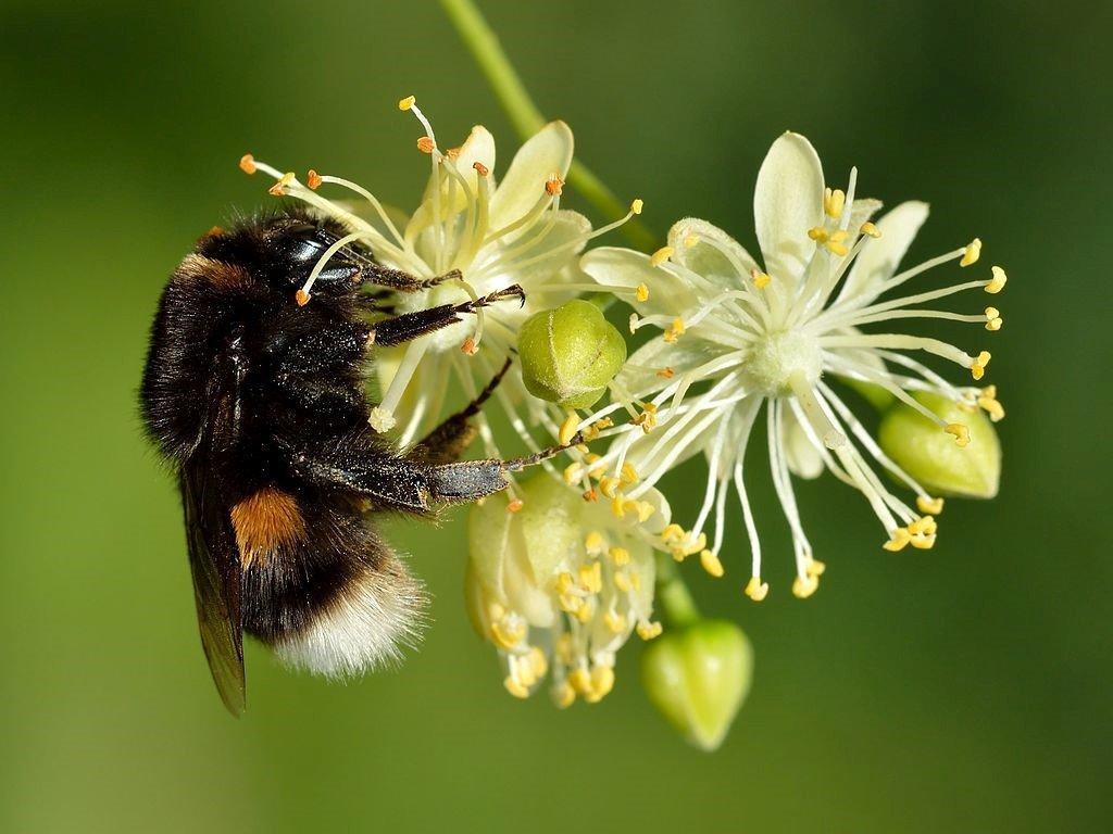 une abeille qui butine une fleur de tilleul