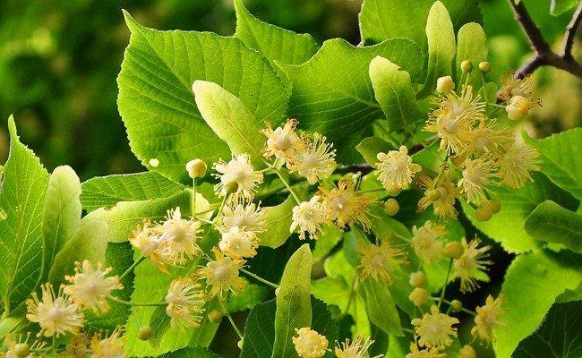Des fleurs de tilleul prêtent à être récoltés