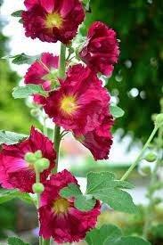 la rose des trémière dans les balkans