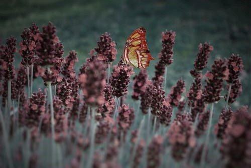 lavandin avec un papillon