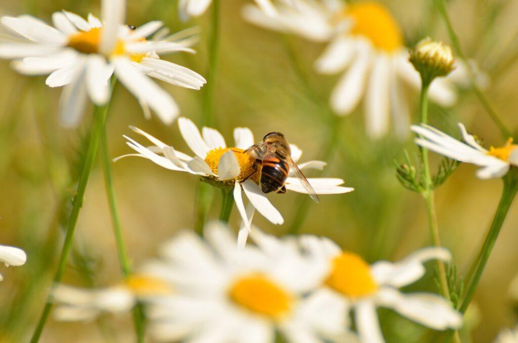 camomille sauvage butiné par une abeille