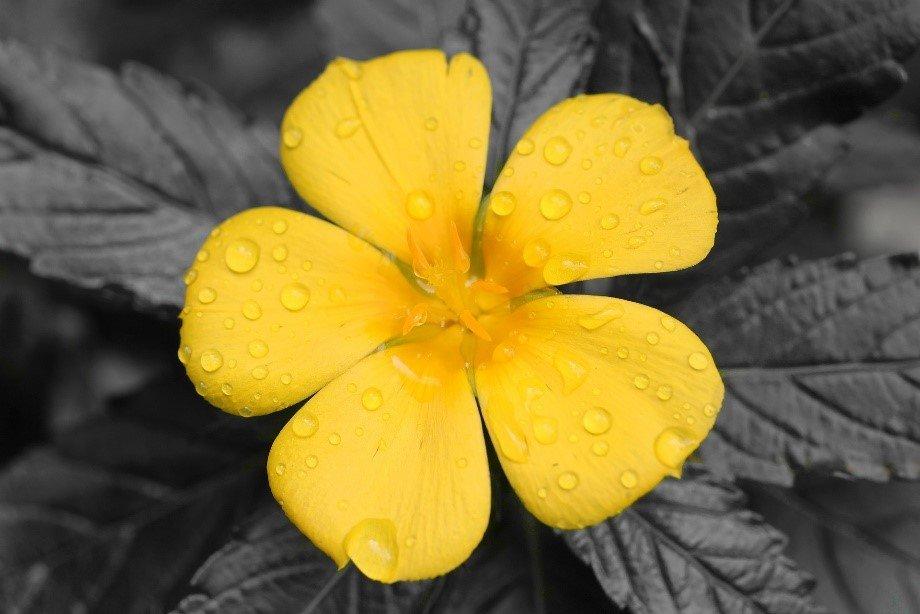 fleur de damania avec des gouttes d'eau