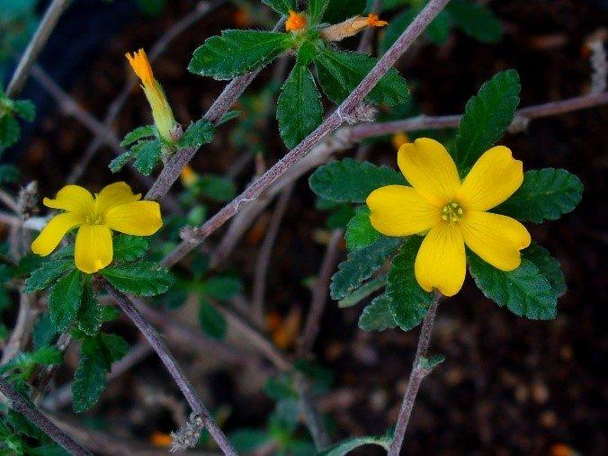 les vertus thérapeutiques de la plante damania